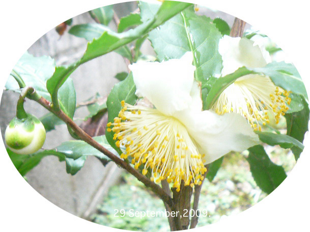 茶花 2009.9のコピー1