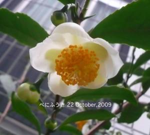 べにふうき 茶花のコピー
