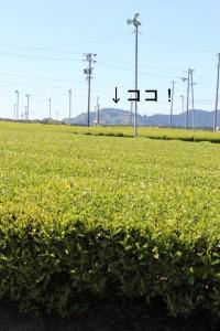お茶の郷の茶畑のサイン入
