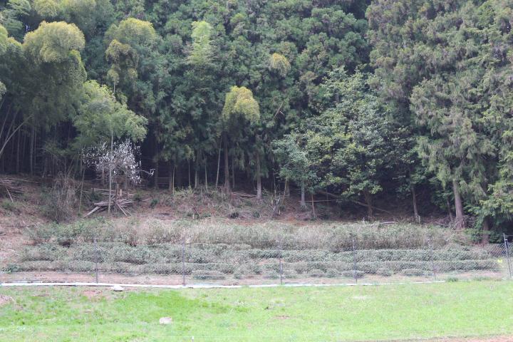 桧原村の茶畑2017