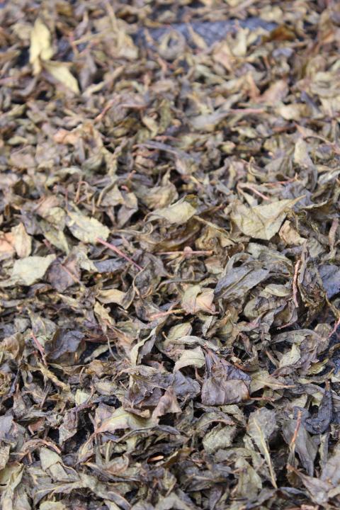 乾燥中の阿波晩茶アップ