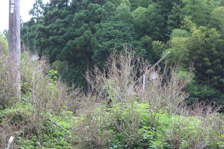 茶摘み後の茶樹