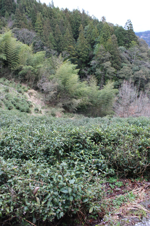 小笠原邸のやぶきたの茶畑2