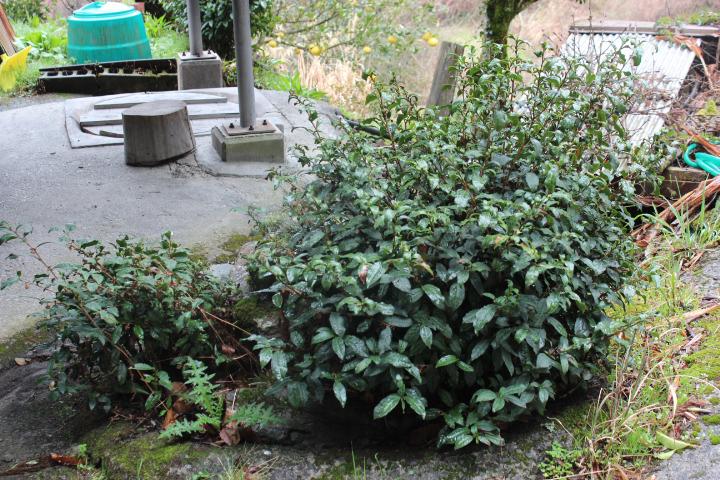 小笠原邸入口の茶樹