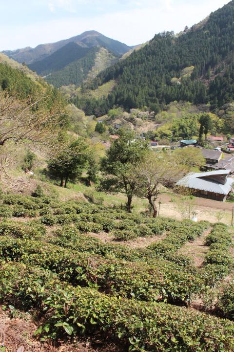 檜原村の茶畑4月12日