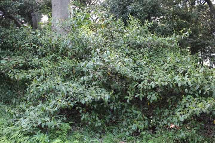 新宿御苑⑥在来の茶樹 100年以上
