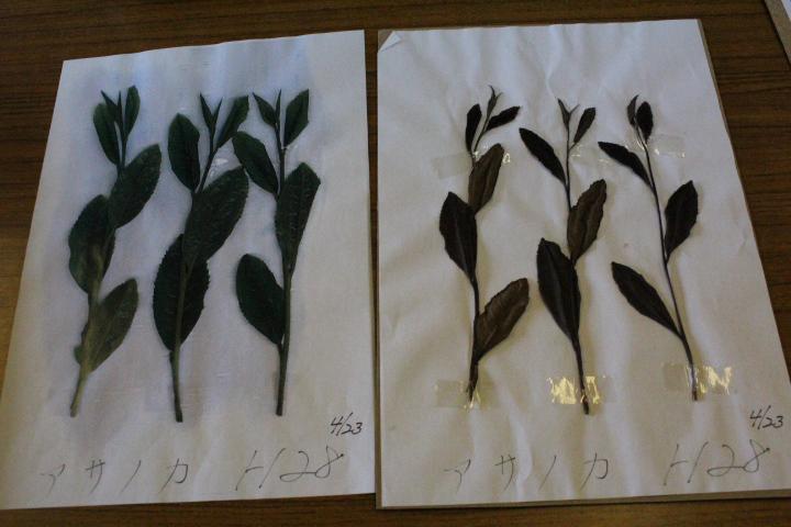 品種別の茶樹 西垂水