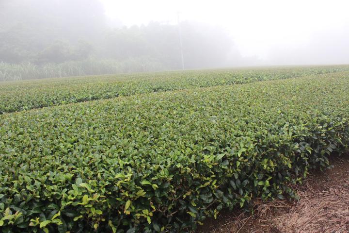 松寿の茶畑