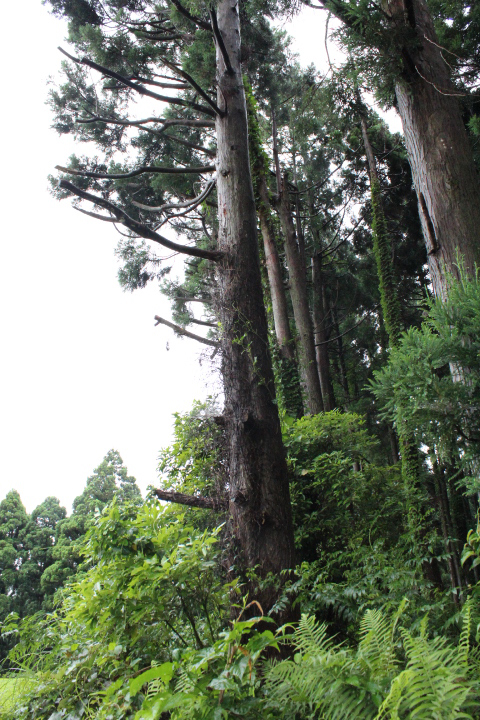 かみなりが落ちた杉の木