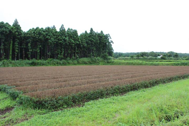 あさつゆの茶畑 八万寿園