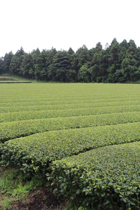 やぶきたの茶畑 八万寿園