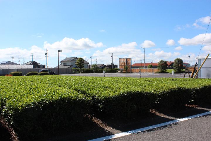 ミュージアムの前の茶畑