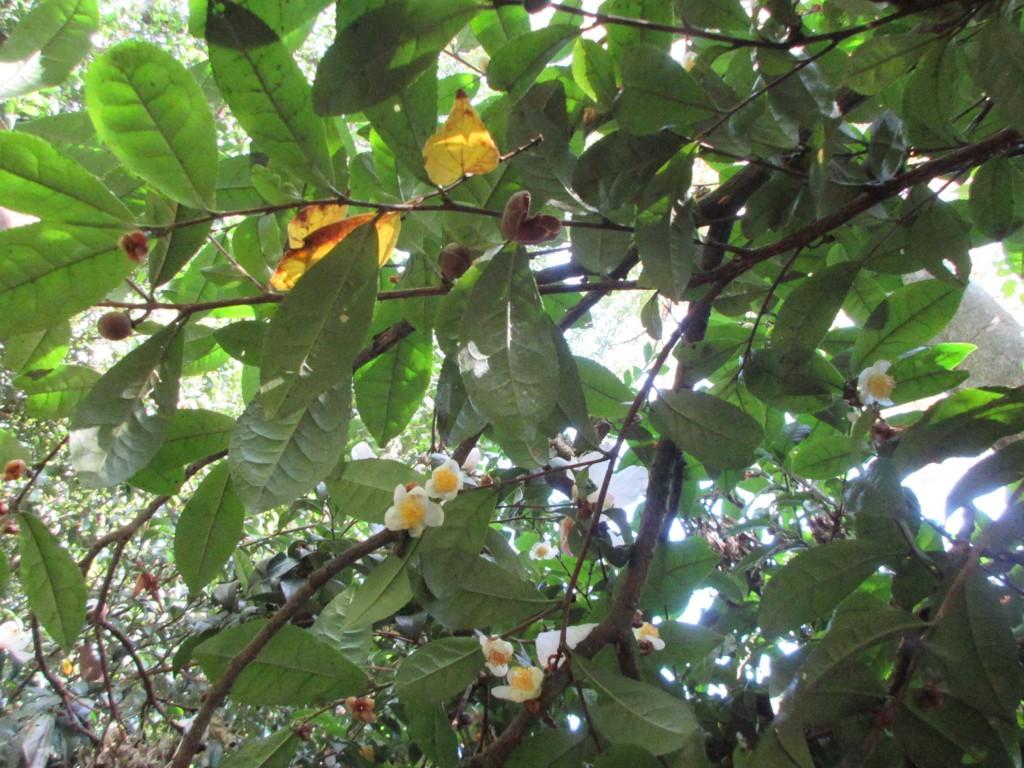 元吉が植えたと思われる茶樹の花