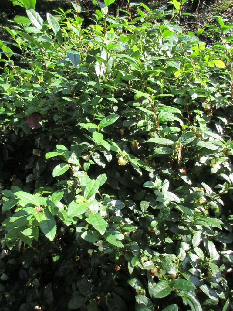 御苑内の茶樹2