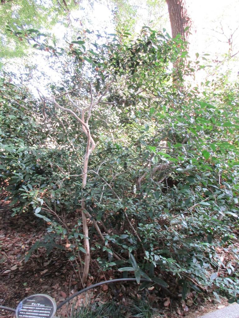 御苑内の茶樹4