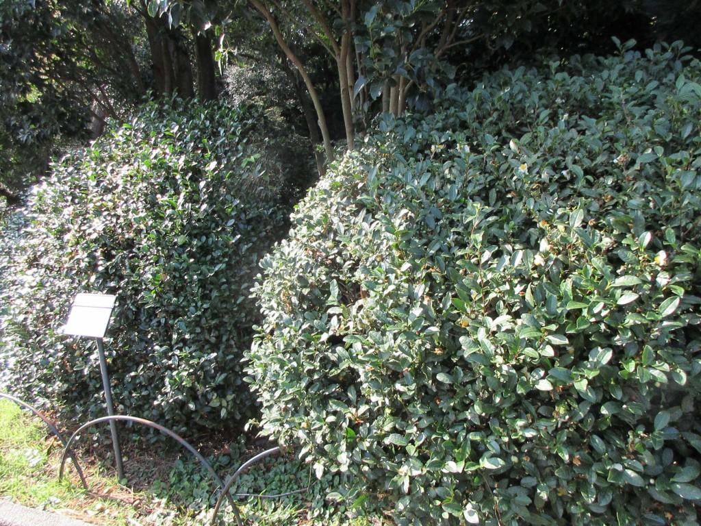 御苑内の茶樹3