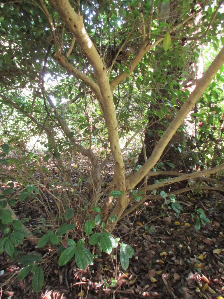 元吉が植えたと思われる茶樹の幹