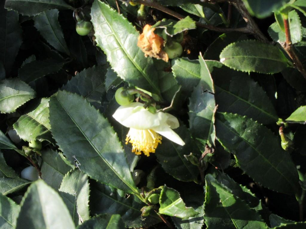 雌しべが出ている茶花のアップ
