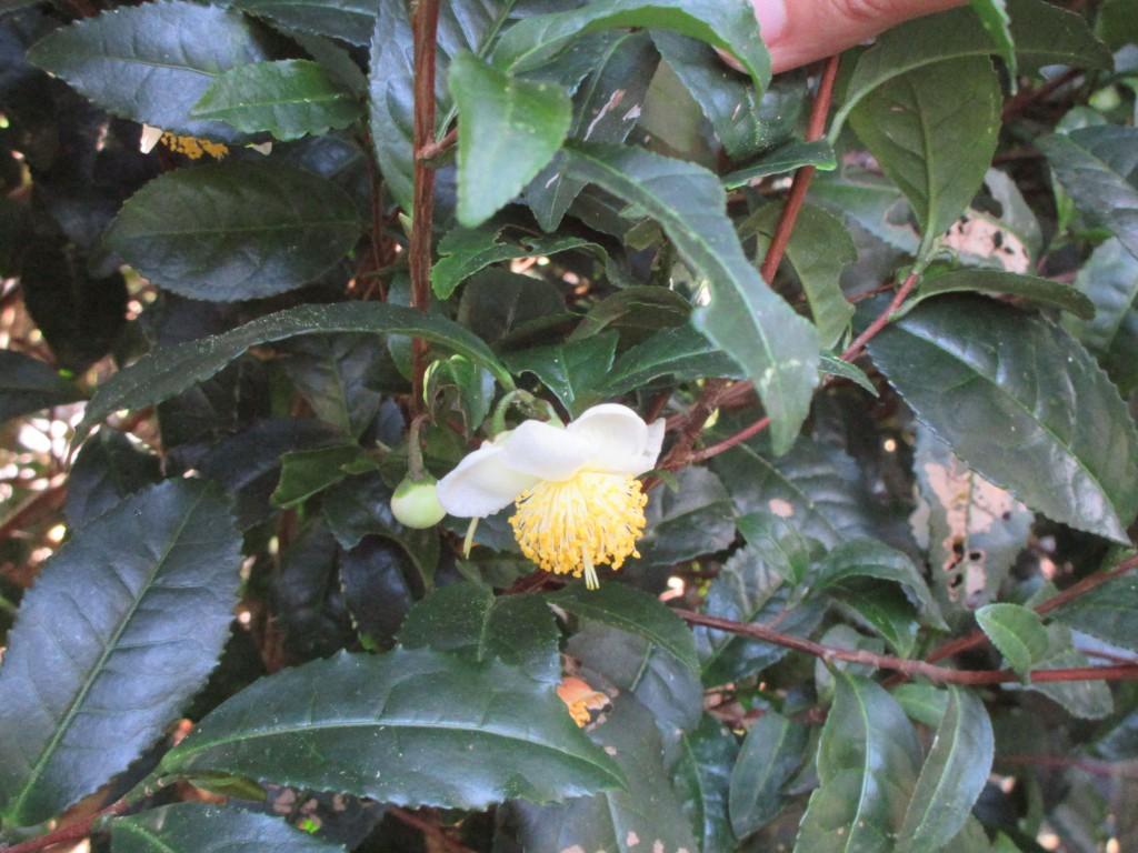 雌しべが出ている茶花のアップ2
