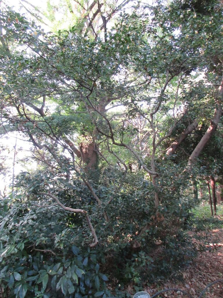 御苑内の茶樹5