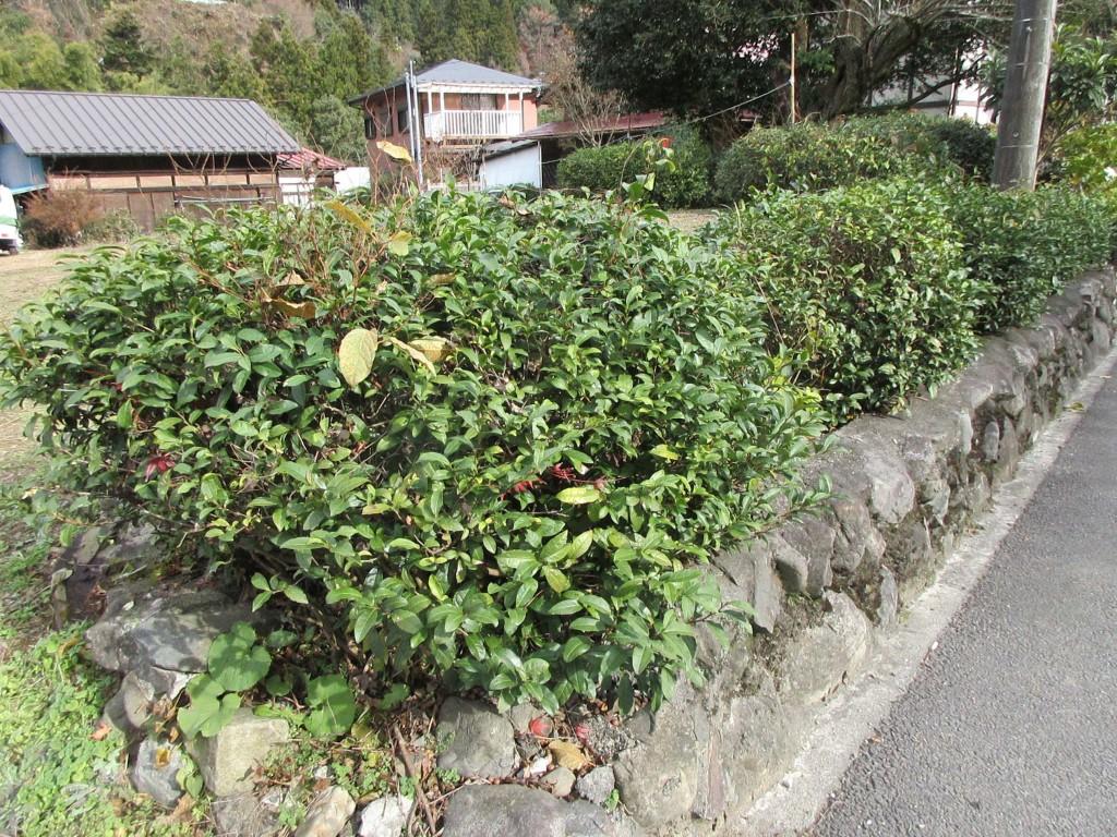 街道沿いの茶樹 檜原村にて