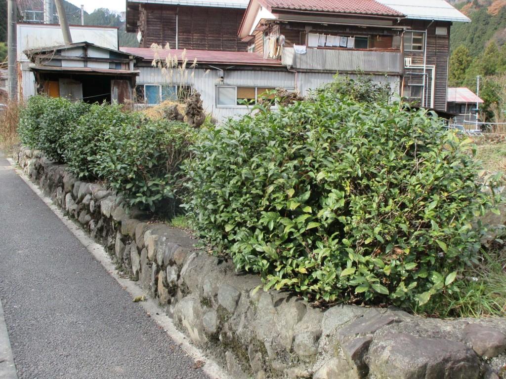 街道沿いの茶樹 檜原村にて2