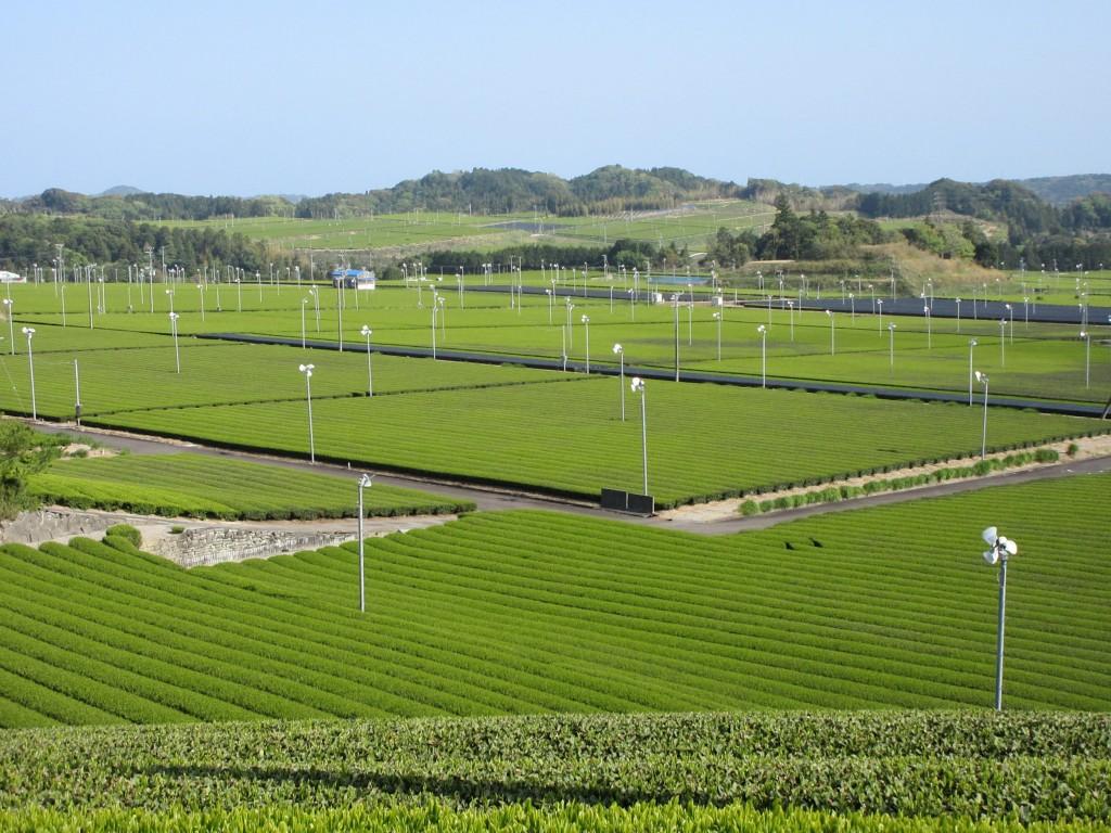 松本さん宅から見える茶畑