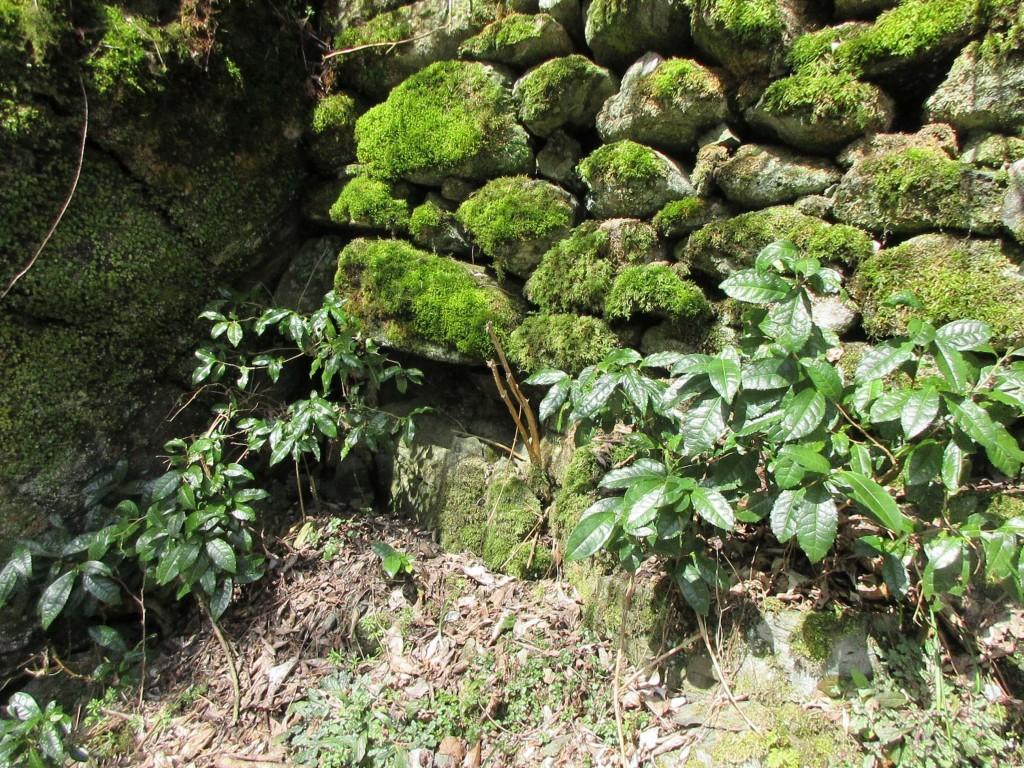 坂道の入り口にある茶の木
