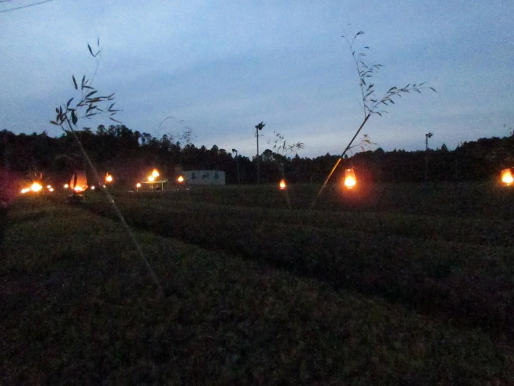 月夜の茶摘み会 茶畑