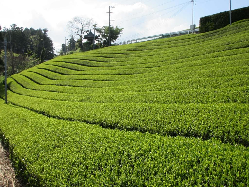 カネロク松本園 茶草場農法茶畑3
