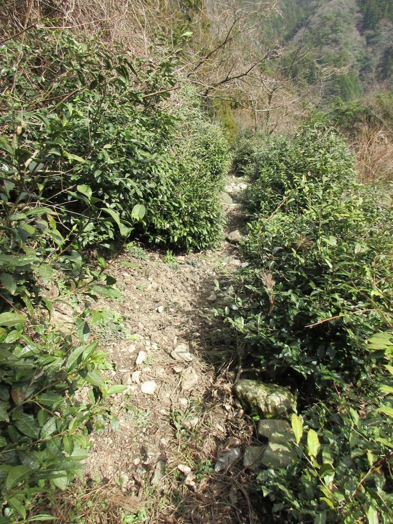 茶樹の坂道
