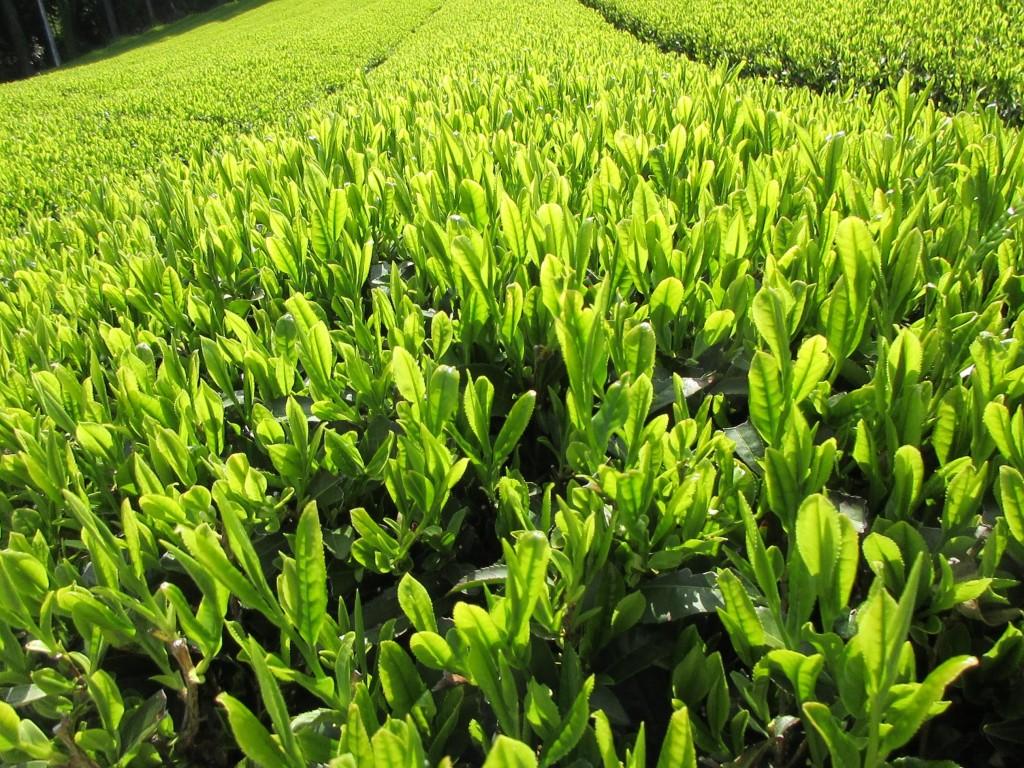 カネロク松本園茶草場農法 やぶきたアップ