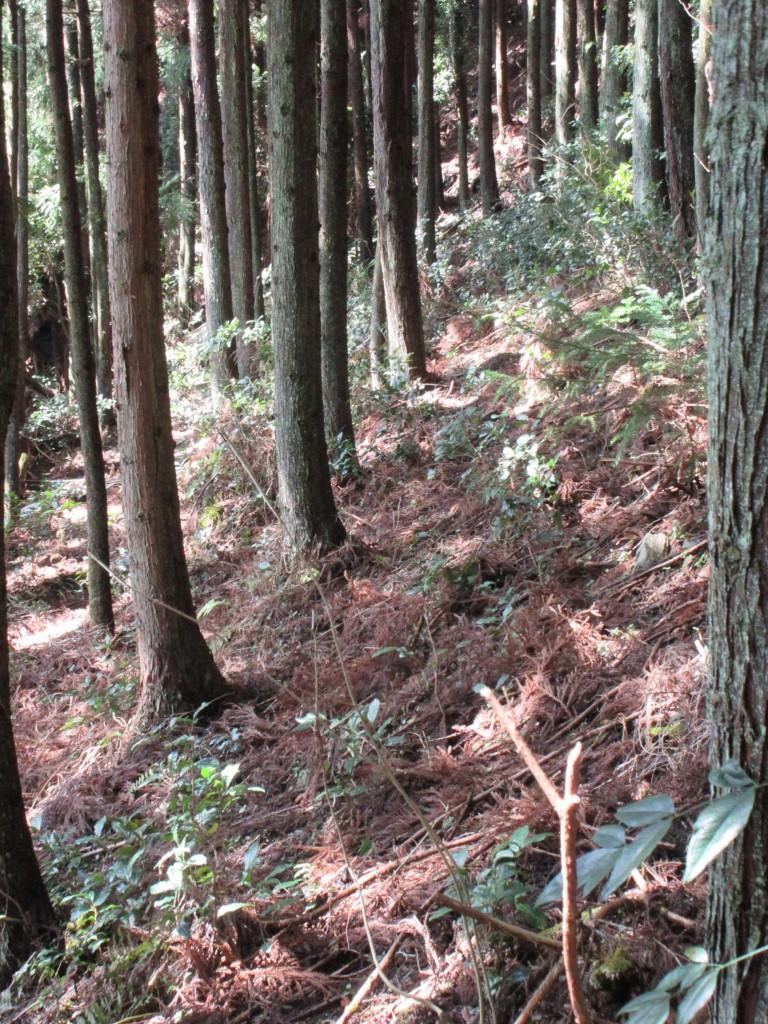 杉の木の間の茶樹