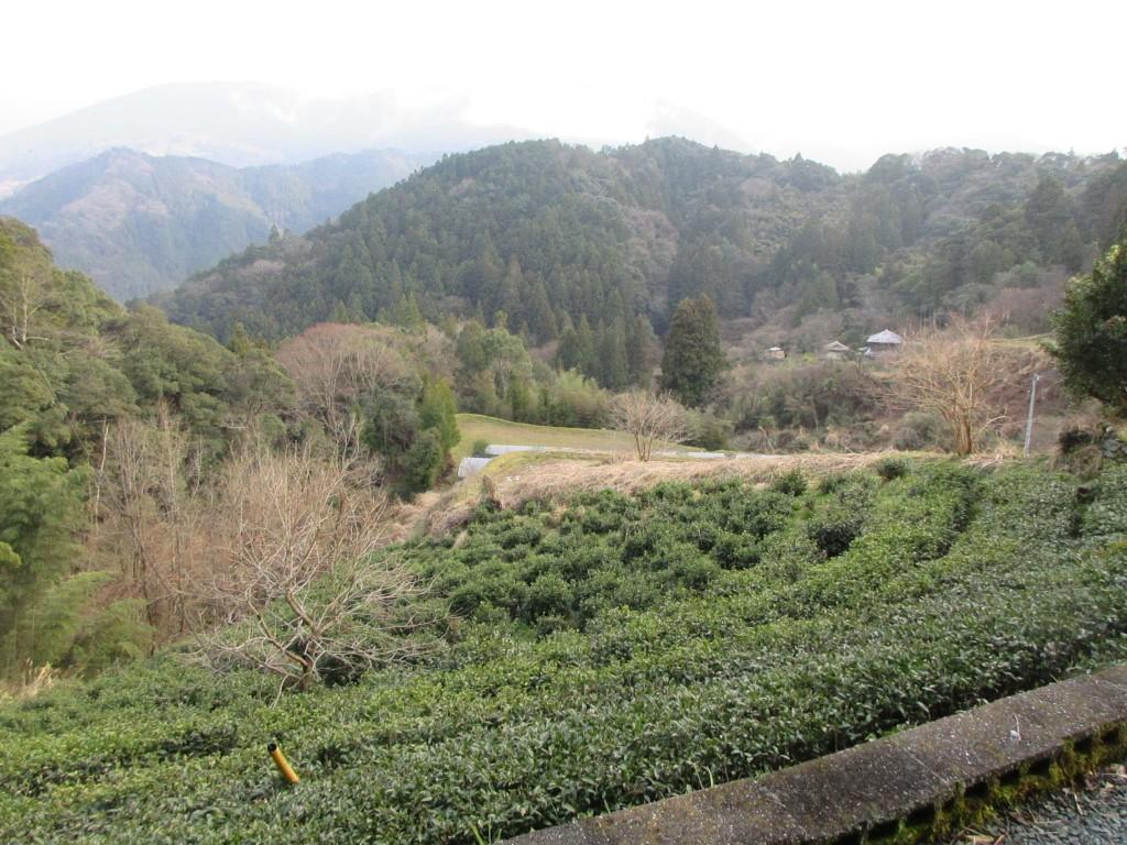 碁石茶の茶畑