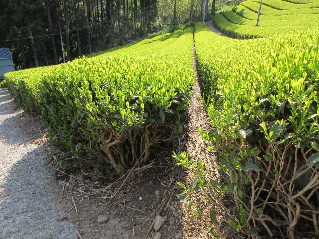 カネロク松本園 茶草場農法2