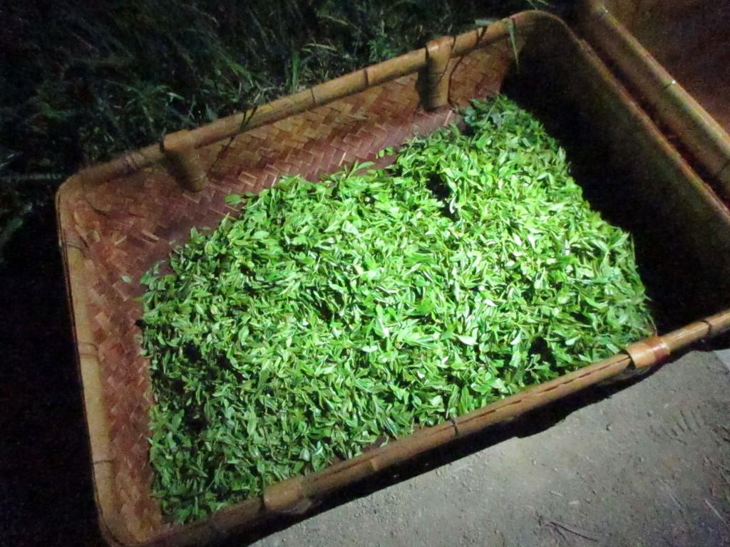 月夜の茶摘み会 摘まれた茶葉