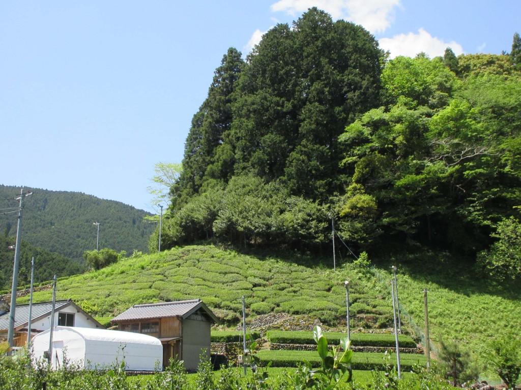 藤枝大茶樹側の自然仕立て茶園