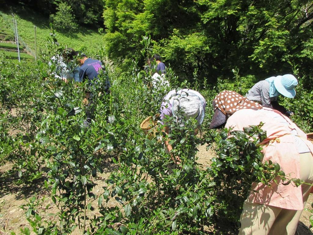 藤枝の大茶樹の挿し木の茶摘み2
