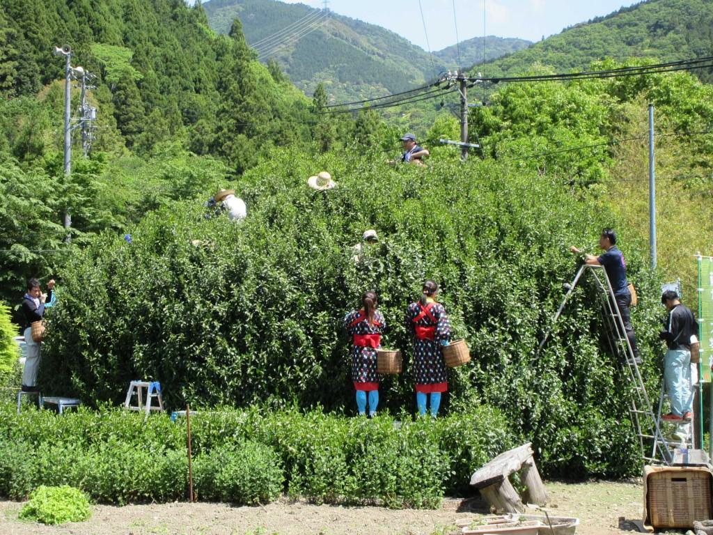 藤枝の大茶樹を茶娘も茶摘み