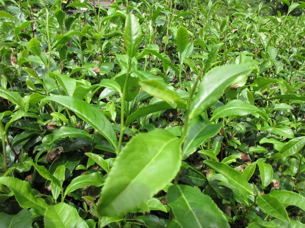 隠れ里の茶畑のアップ