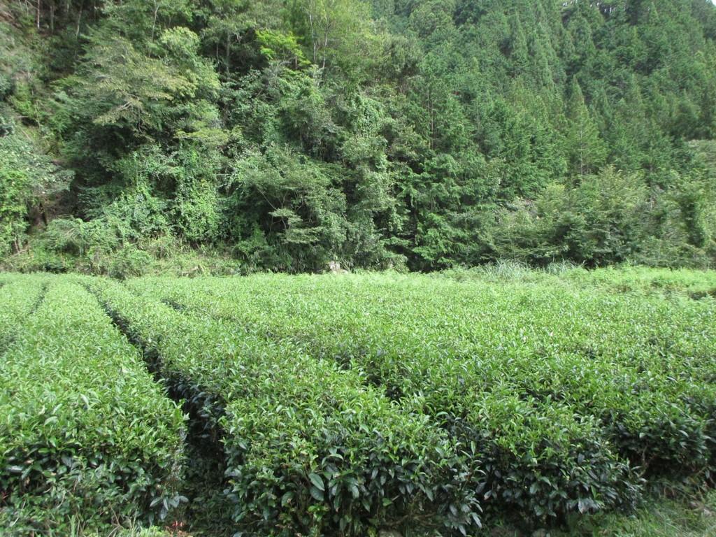 隠れ里の茶畑2