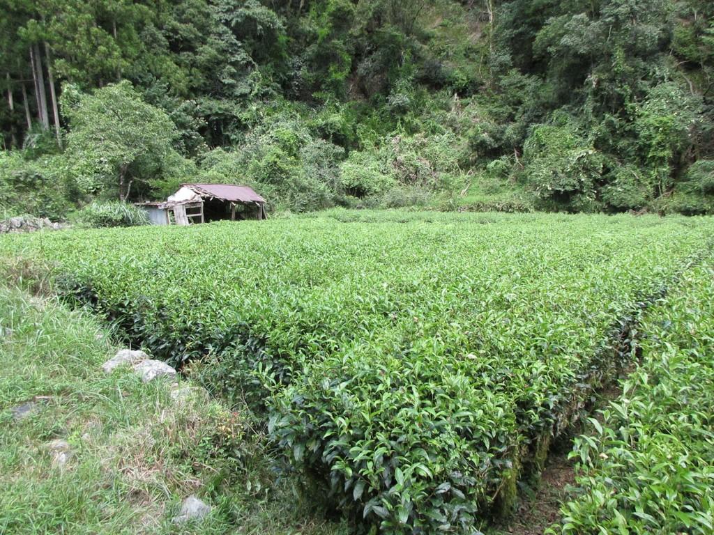 隠れ里の茶畑