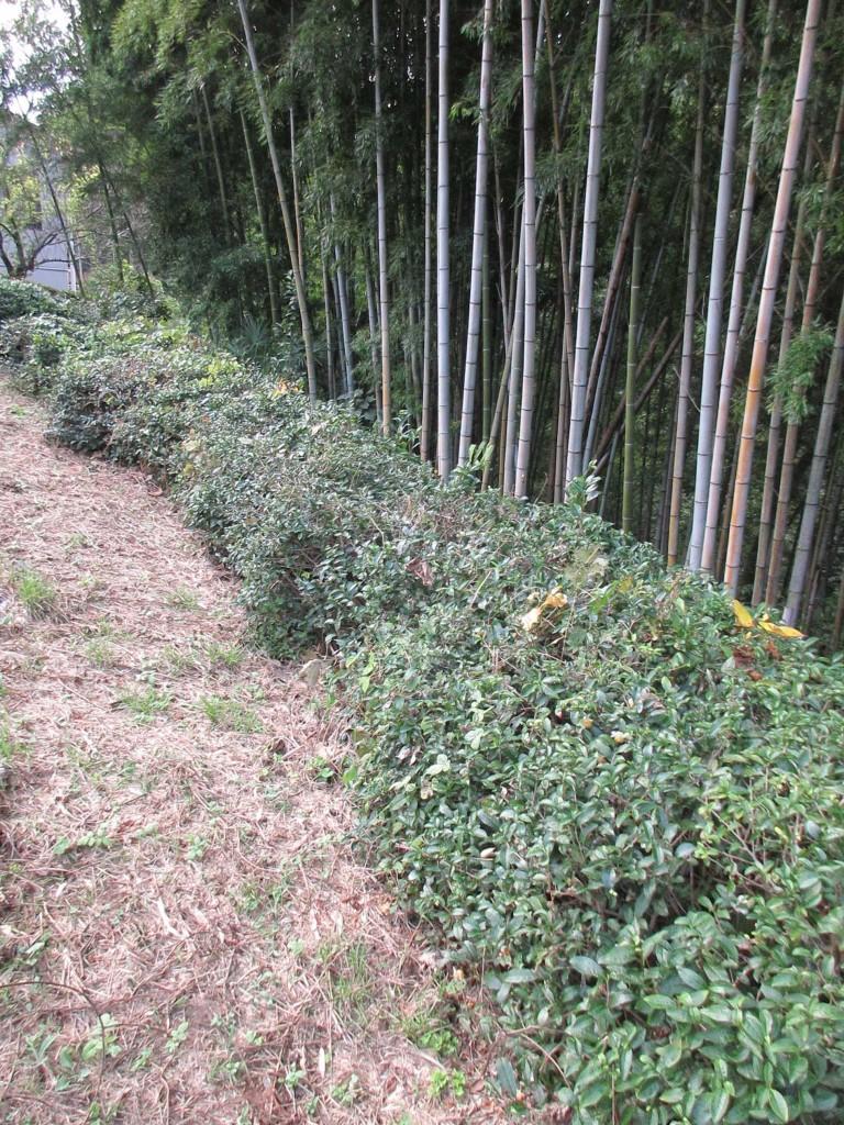2019.10.27 ひのはら紅茶を楽しむ会2019 会場側の茶樹