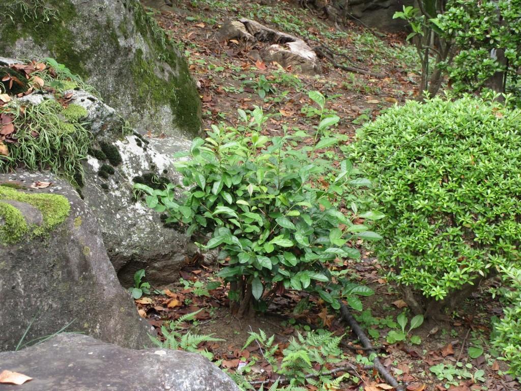 高林謙三の碑の側の茶の木