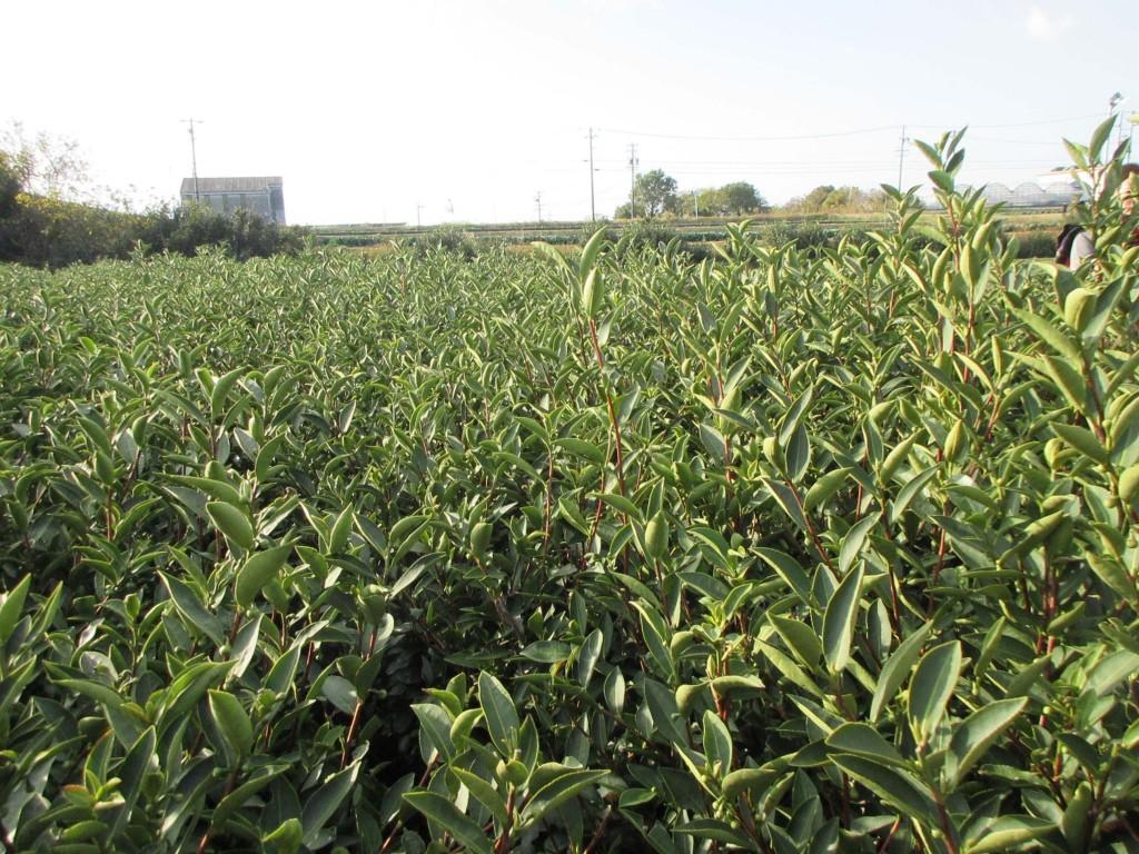 長寿園製茶 べにふうきの茶畑2