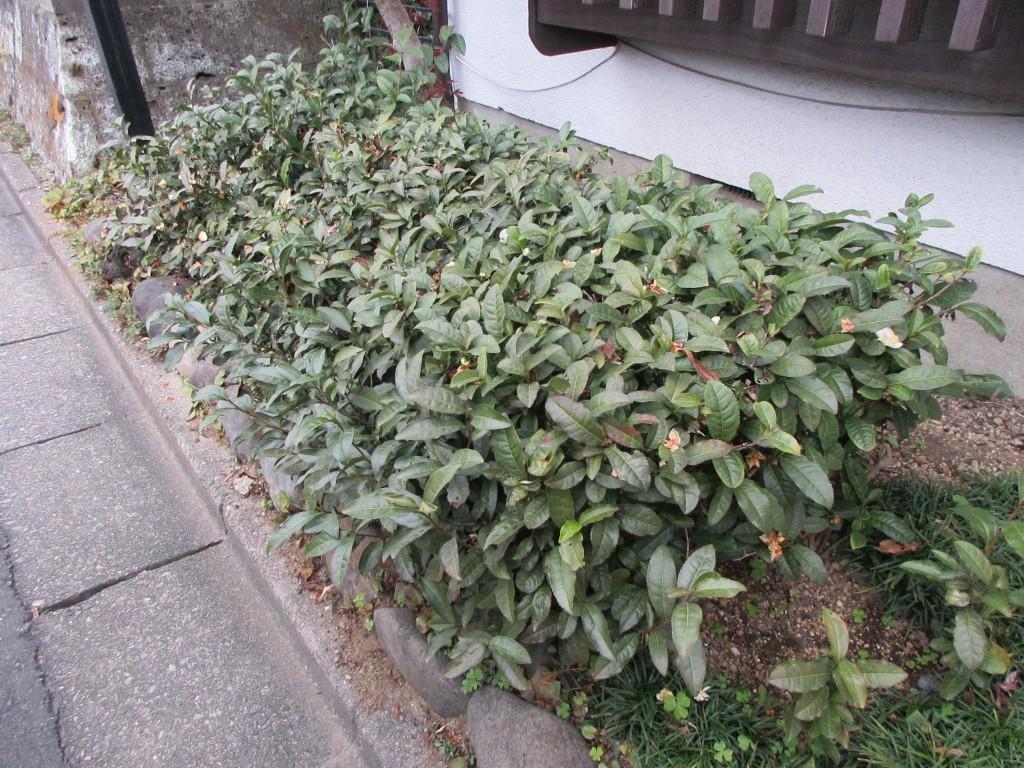 駒弥前の茶樹