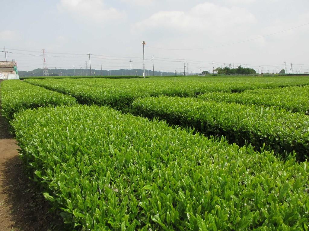 入間茶研2020.5.13