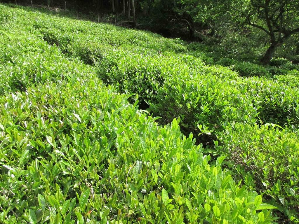 2020.5.24 檜原村の茶畑
