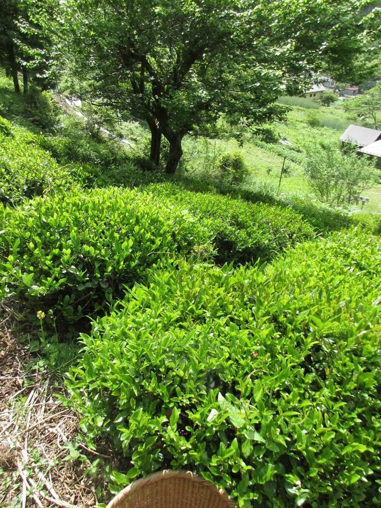 2020.5.24 檜原村での茶摘み