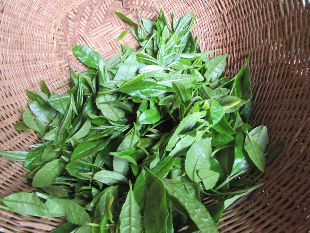 午前中に摘採した茶葉
